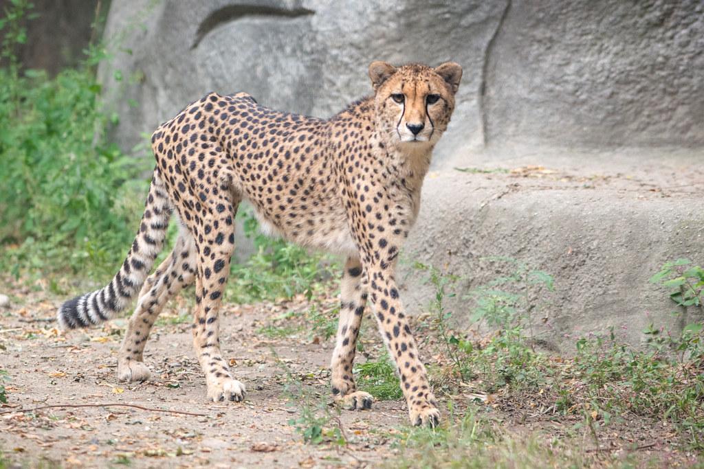 Cheetah Walking | Eric Kilby | Flickr Cheetah