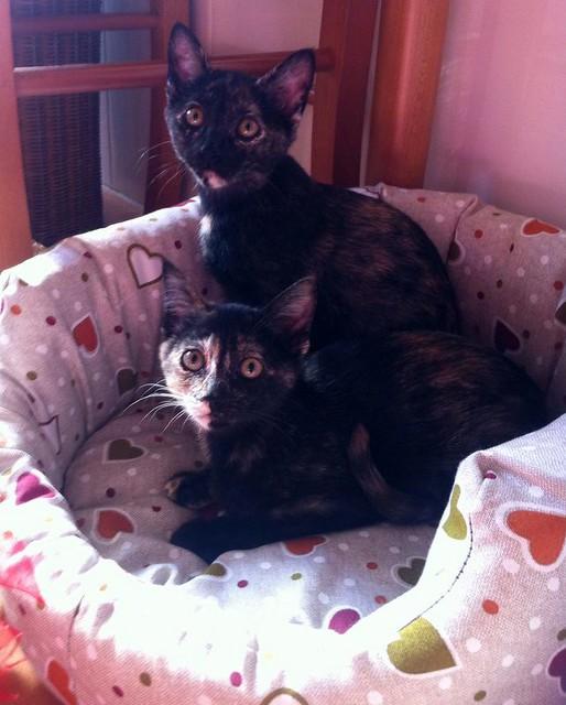 Eclipse, gatita carey dulcísima de cara bicolor espectacular nacida en Octubre´16, en adopción. Valencia. ADOPTADA. 31625155960_29c27d69a7_z