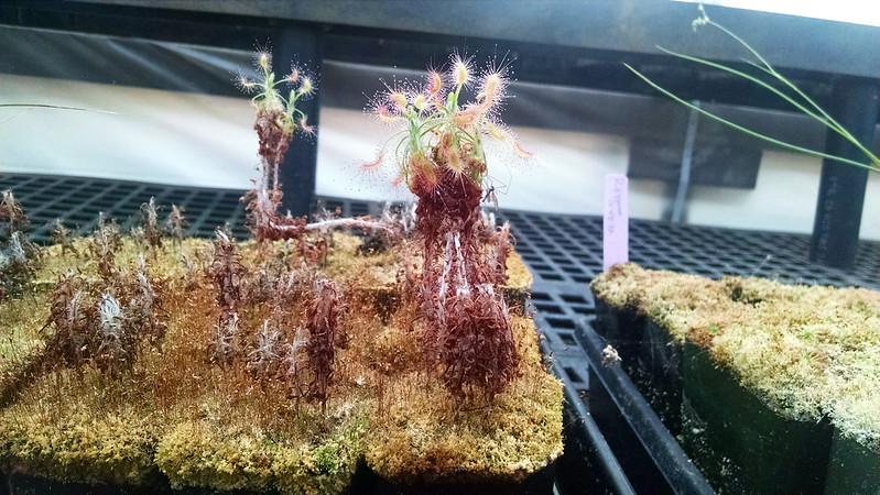Drosera scorpioides.