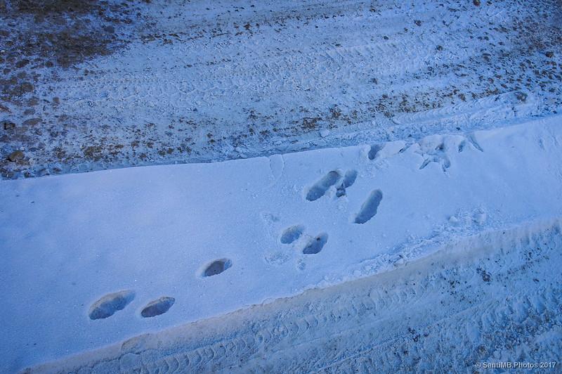 Huellas de conejo en la nieve
