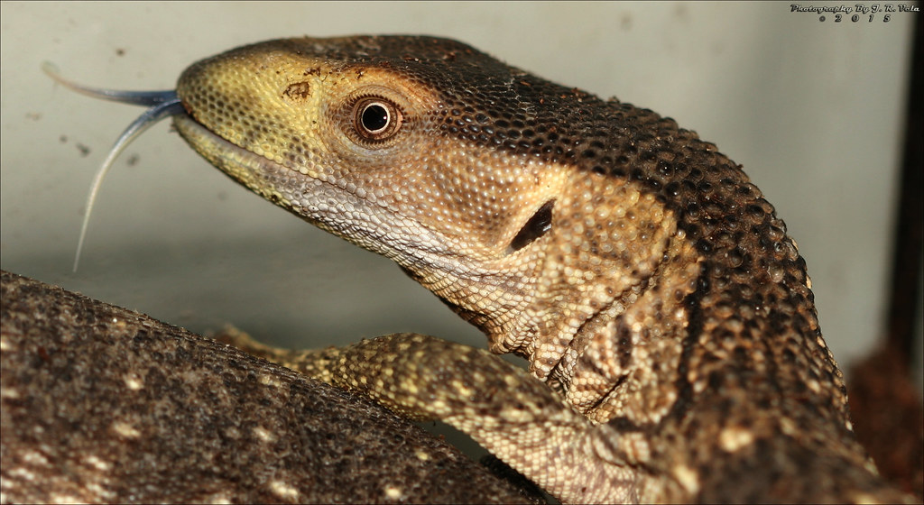 10112015 Mozambique White Throat Monitor Tarantula Fan Flickr