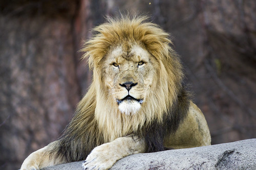 Lion - Lincoln Park Zoo | by AindriúH