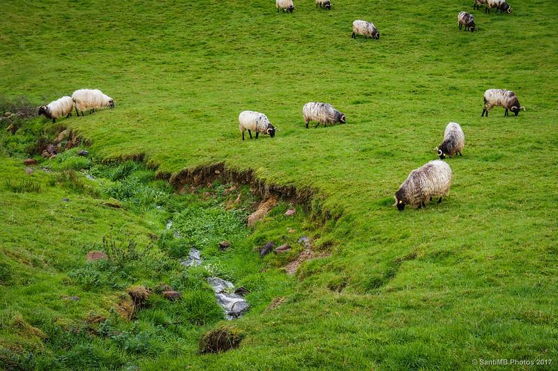 Ovejas pastando tras la lluvia