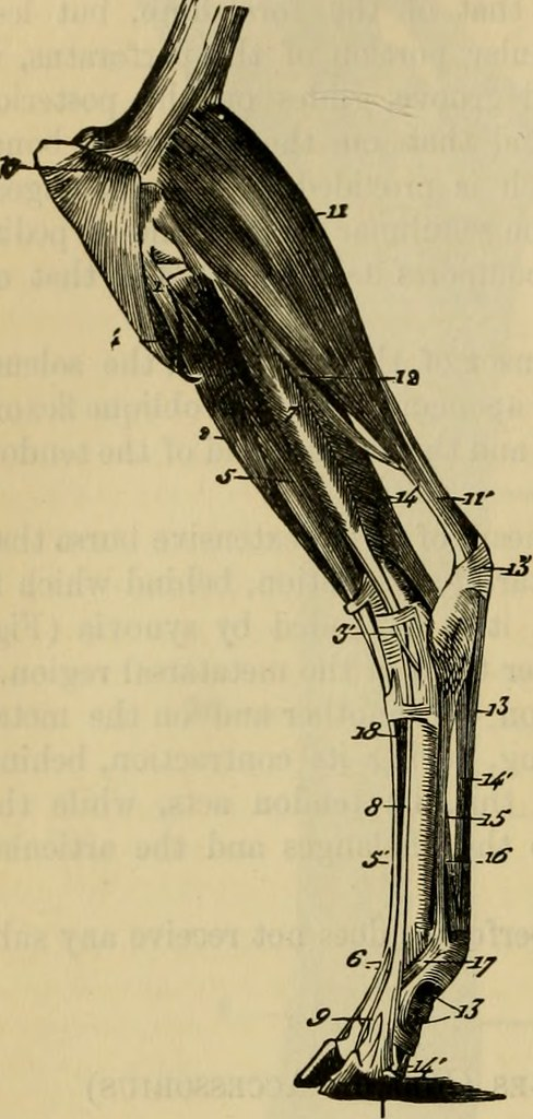 Image From Page 413 Of The Comparative Anatomy Of The Dom Flickr