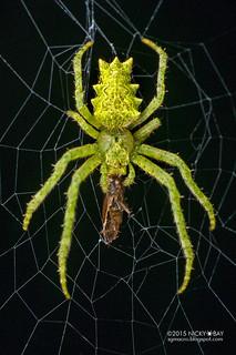 Orb weaver spider (Parawixia sp.) - DSC_3824b