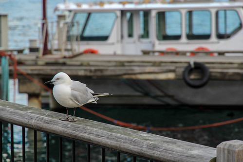 Seagull in Queenstown, New Zealand | by krisztianpanczel