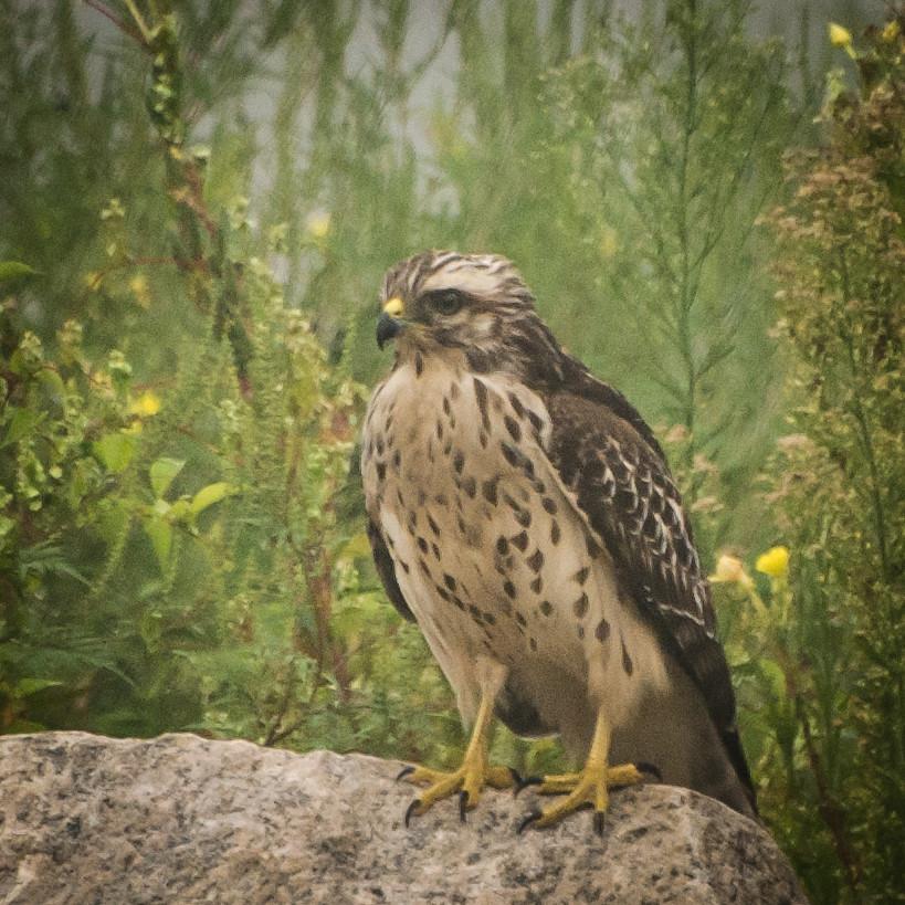 juvenile redshouldered hawk seen one foggy morning