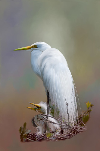 Original image of Egret and Chick before adding Topaz Lens Effects
