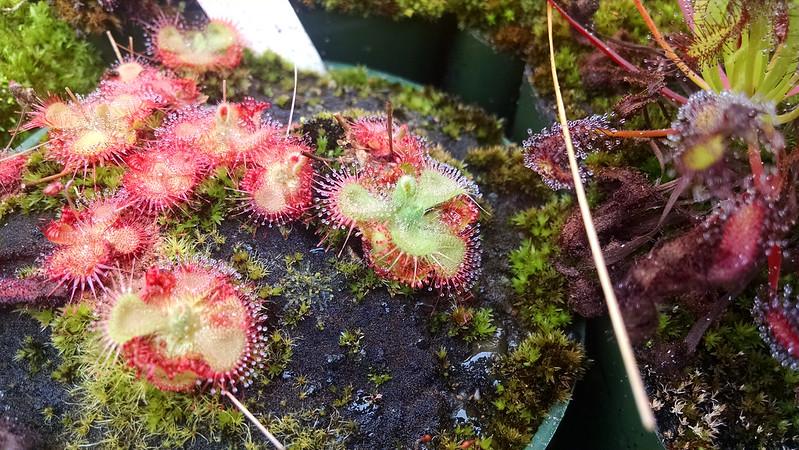 Drosera sessilifolia.