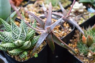 DSC_4833 Aloe inexpectata sp. nov.  アロエ インエクスペタラ