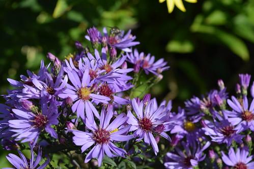 SYMPHYOTRICHUM 'Prairie Purple'