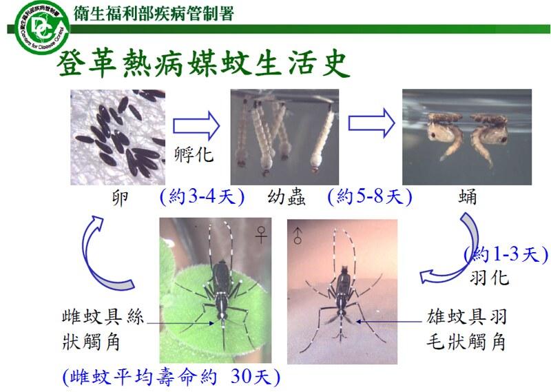 登革熱病媒蚊生活史。翻攝自衛福部疾管署登革熱專業版相關教材。