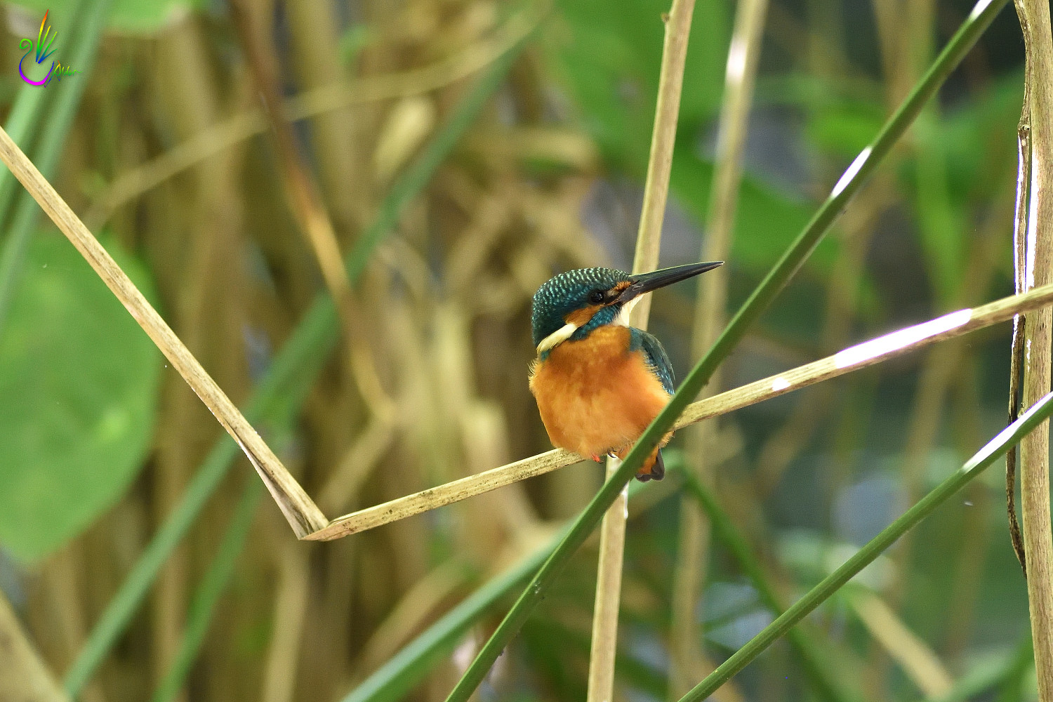 Common_Kingfisher_5489