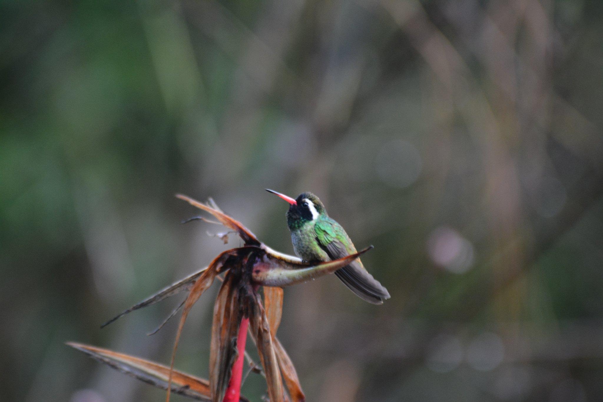 White-eared Hummingbird - Reserva Ecológica Sierra de San Juan--La Noria, MX 3