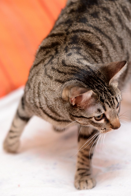 Tigris, gatita atigrada parda de ojazos verdes y cara redondita, tímida y sumisa esterilizada, nacida en Septiembre´15, en adopción. Valencia. ADOPTADA. 32607058321_0f1dc45e66_z
