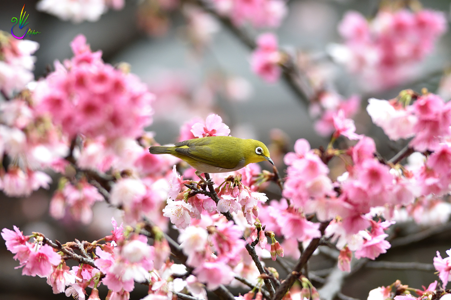 Sakura_White-eye_1114