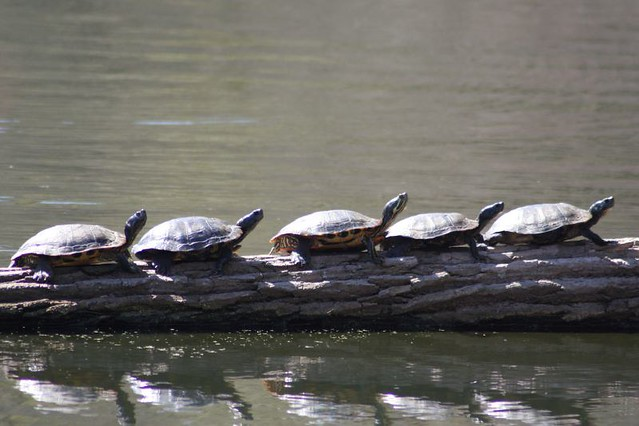 5 Turtles In A Row On A Log Turtles On A Log Found At