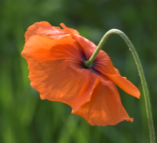 Poppy - and Green | by Magdalen Green Photography