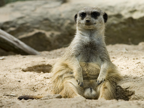 meerkat sitting due to the overwhelming response i upload