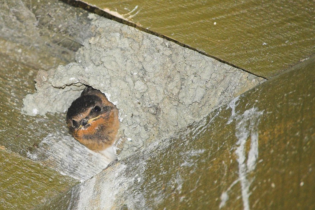 Mud Swallow Nests 62