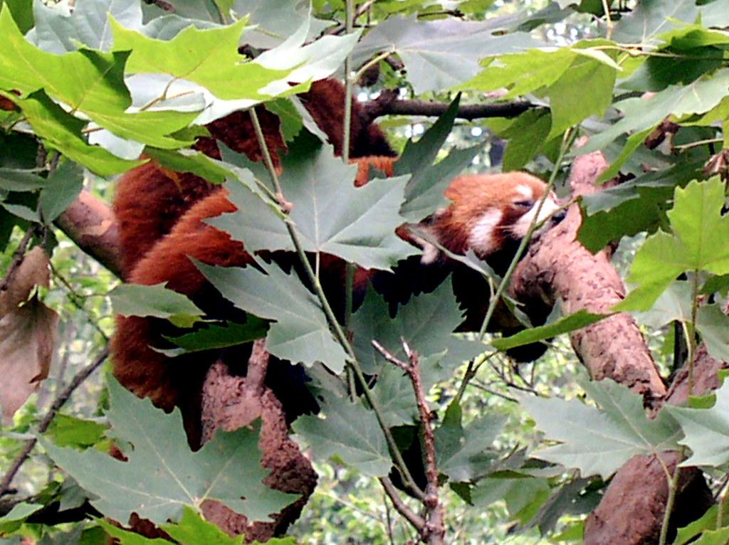 Xiao Xiong Panda Roux Xiao Xiong Mao ou