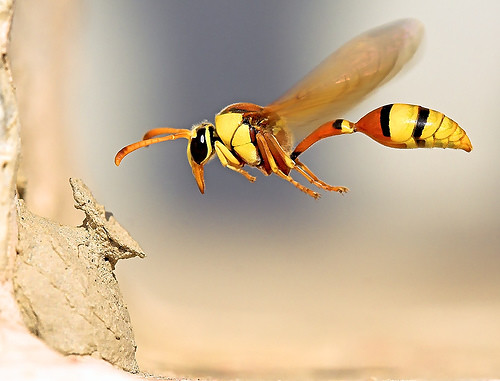 A Potter Wasp | by © Poras Chaudhary