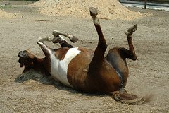 Stupid horse tricks #1 | Play dead. | prodigaldog | Flickr