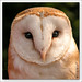 Barn Owl - Effraie des  Clocher