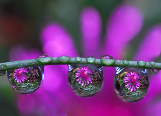 drops of purple petals | by Steve took it