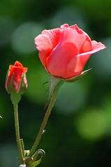 A rose in Yalta Zoo Crimea Ukraine | by Sevastopol