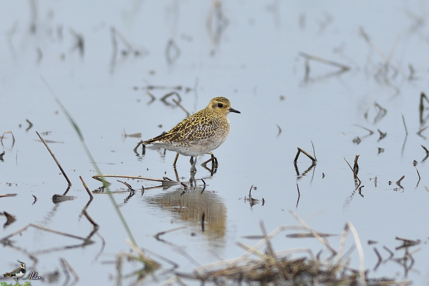 Pacific_Golden_Plover_4618