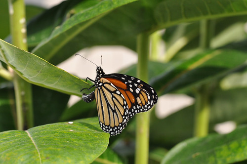A monarch laying an egg on the underside of a common milkweed leaf