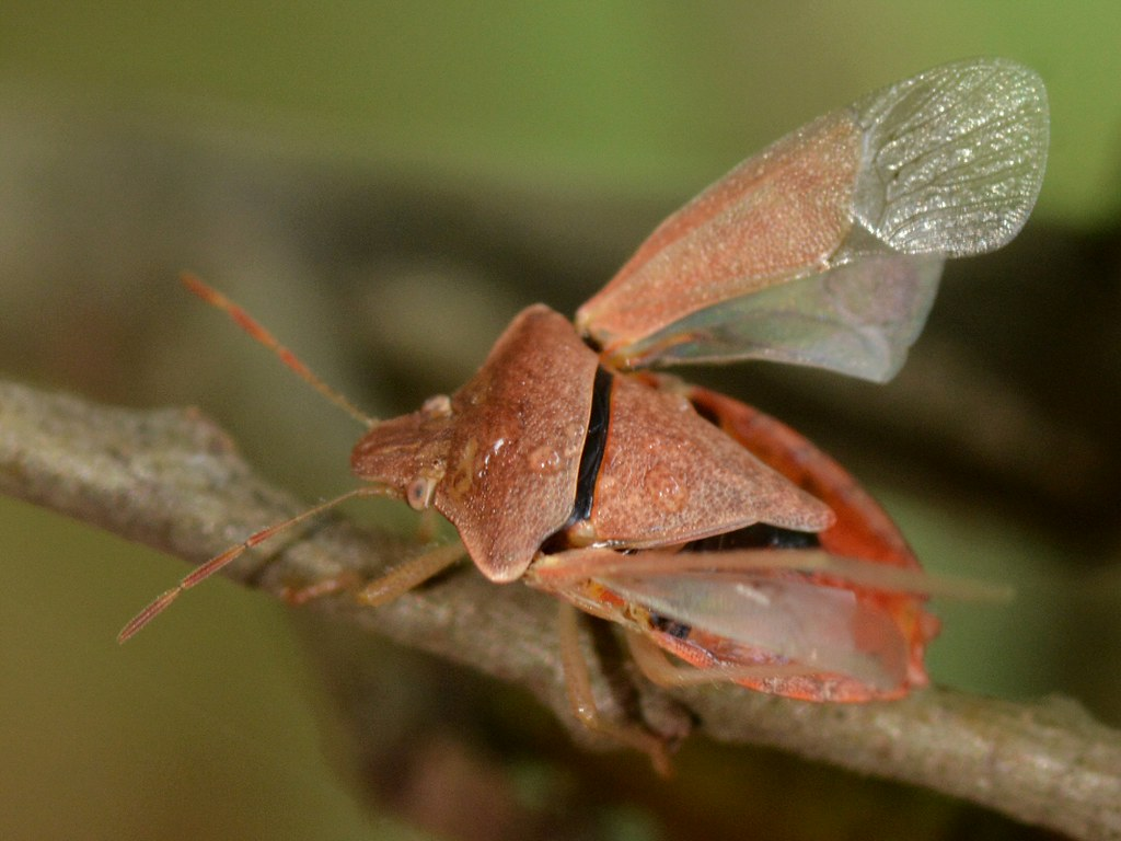 Stink Bug (Pentatomidae) with wings open on Coast Live Oak… | Flickr