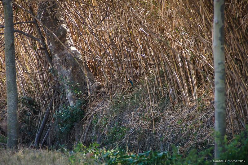 Martín pescador en el Canal de la Bunyola