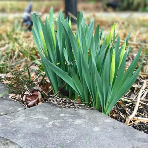 Big daffodils are on the way! #suzimandyphotochallenge #naturephotooff #naturephotography #flowers #daffodils