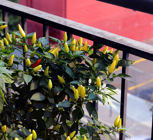 balcony chilis | by Buddha-Bellies