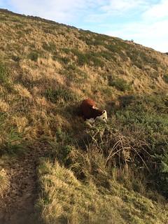 Een koe op mijn pad