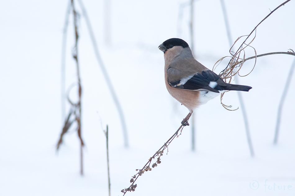 Leevike, Pyrrhula, Eurasian, Bullfinch, Northern, Bull, finch, Common, Estonia, Kaido Rummel