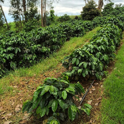 #kvphawaii Coffee plants at O'o Farm in #Maui. Farm tour, picking coffee fruit. Sucking on coffee beans. Cool!! | by queenkv