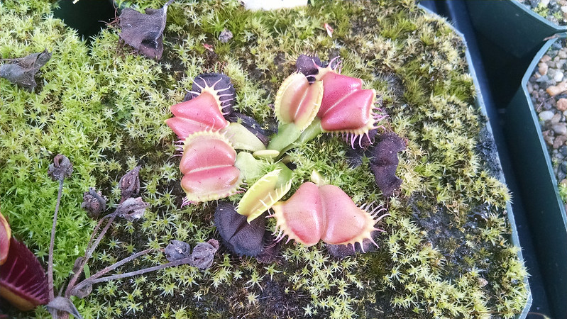 Dionaea 'Angel Wings'.