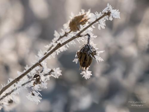 Hibiskus im Frostkleid