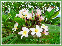 Attractive light pink with yellow-centred Plumeria (Frangipani), 4 Dec 2016