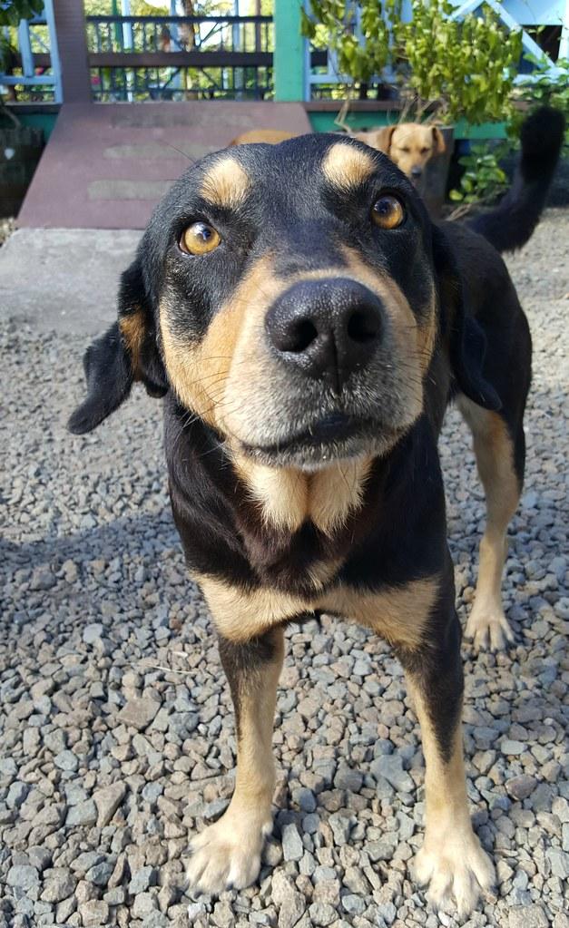 Antigua Dadli dog