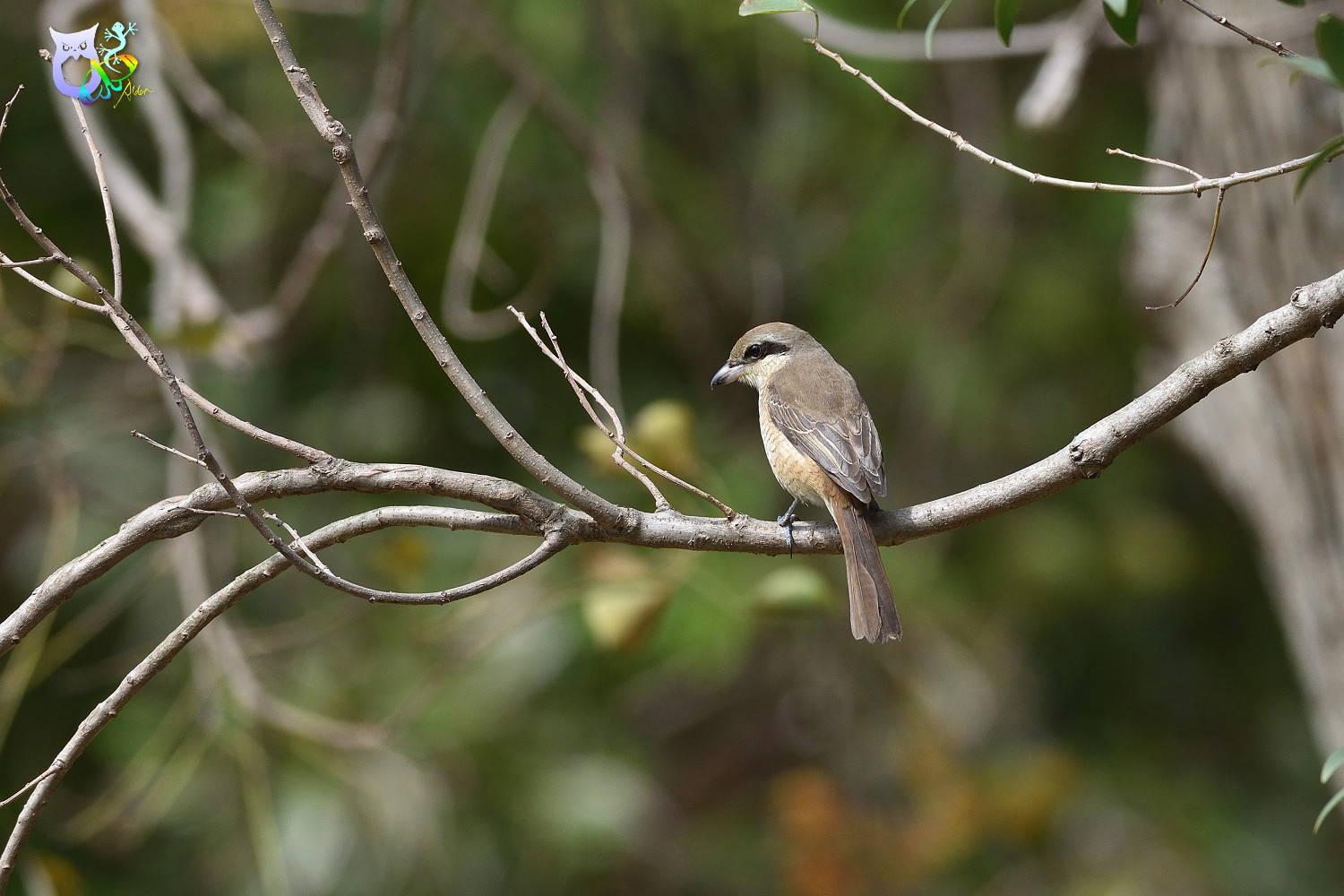 Brown_Shrike_9567