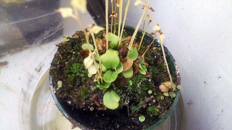 Utricularia calycifida.