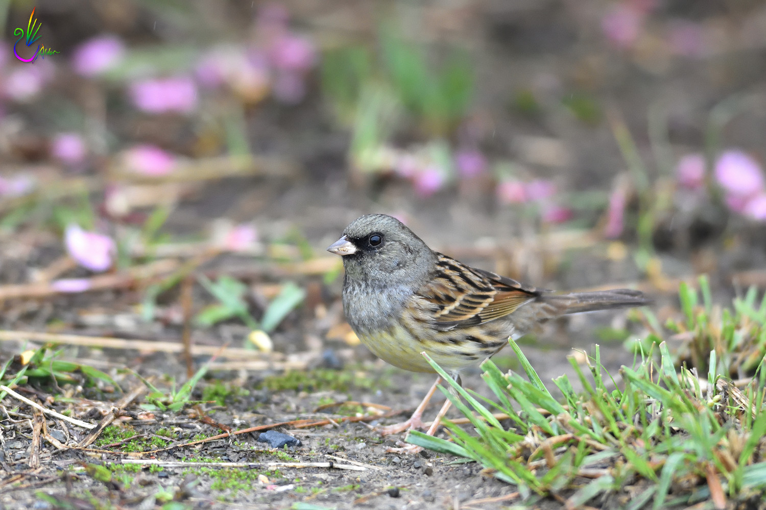 Black-faced_Bunting_7566