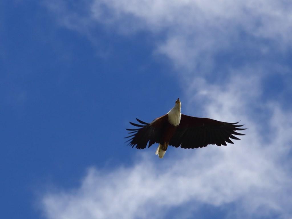 巡遊奈瓦夏湖上空的非洲魚鷹。攝影:鍾坤典。