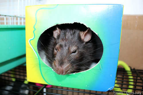Settling in right away: A tissue box is a comfy rattie house.