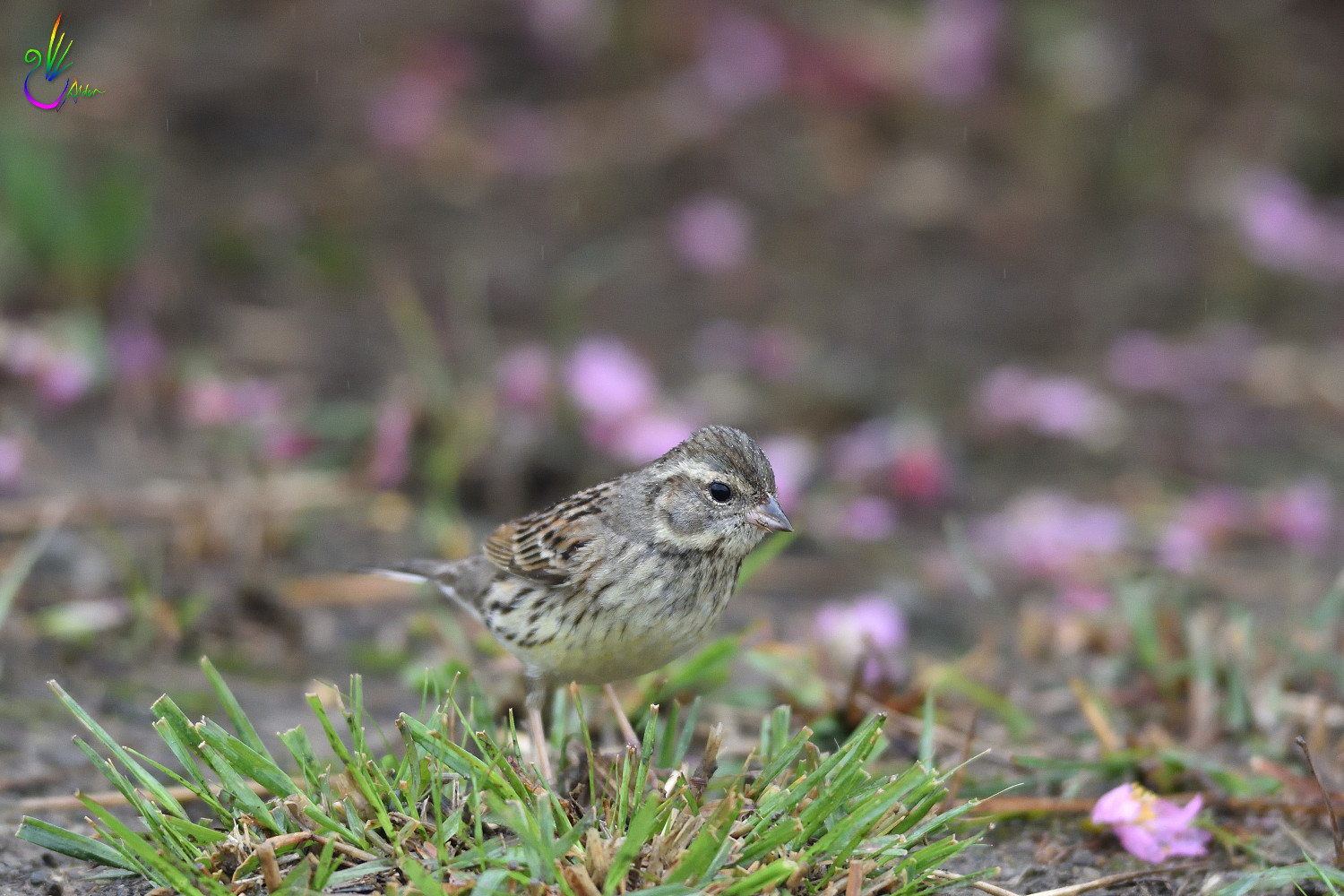 Black-faced_Bunting_7597