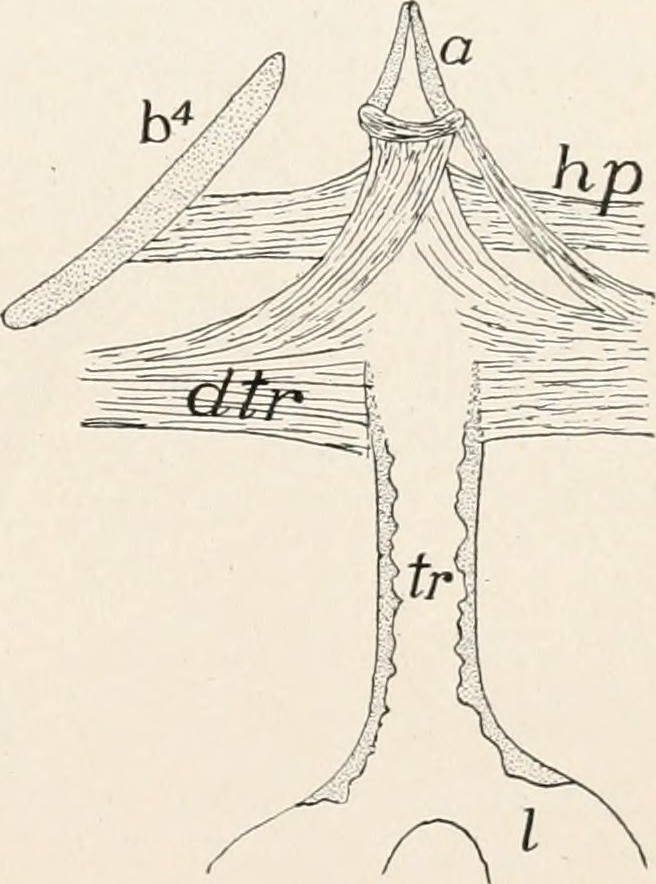 Image From Page 266 Of Comparative Anatomy Of Vertebrates Flickr
